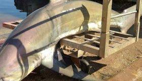 Καρχαρίας 200 κιλών πιάστηκε σε παραγάδι στον Πατραϊκό